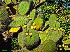 cactus par jaume meneses