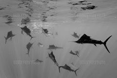 Atlantic sailfish - Reinhard Dirscherl