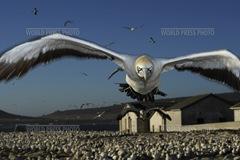 Cape gannet landing - Thomas P Peschak